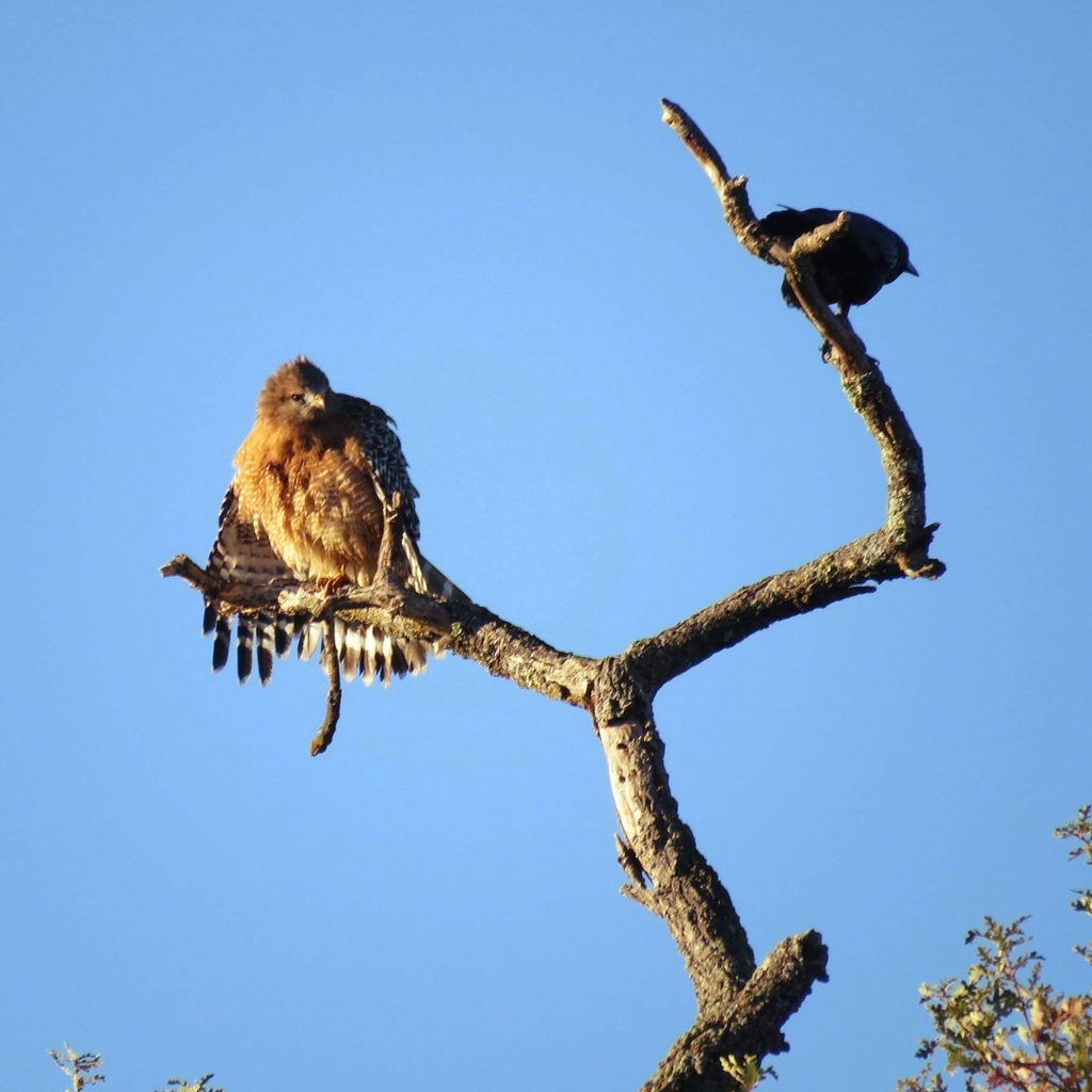 Larger bird looks like a Red-Shouldered Hawk, the other I'm not sure about, here at Lake of the Pines.