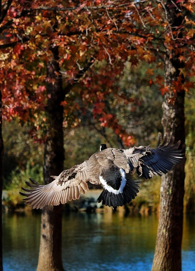 Canada goose dodges the trees as it comes in for a landing at Lions Lake at the Nevada County Fairgrounds.