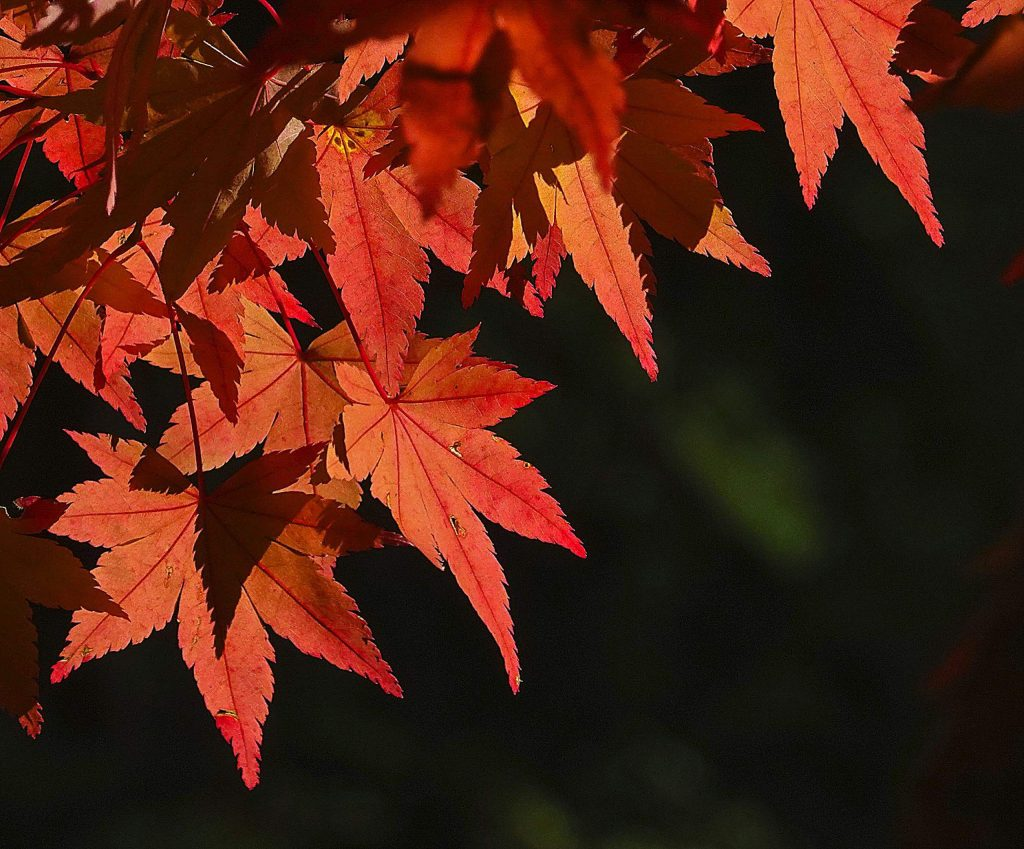 Japanese Maple leaves.