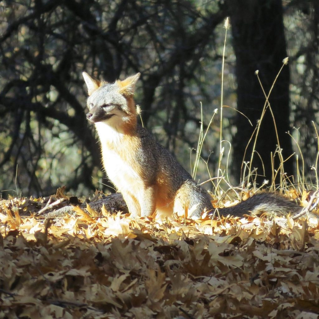 This was the first fox I have seen here at Lake of the Pines.