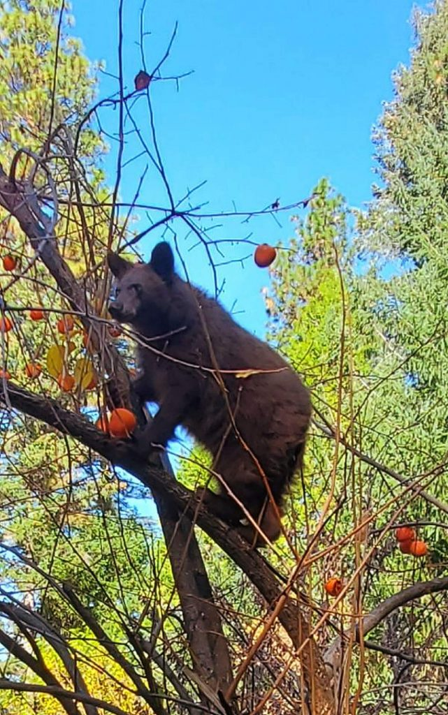 We've had this bear and her two cubs near Gracie Road for several weeks now.