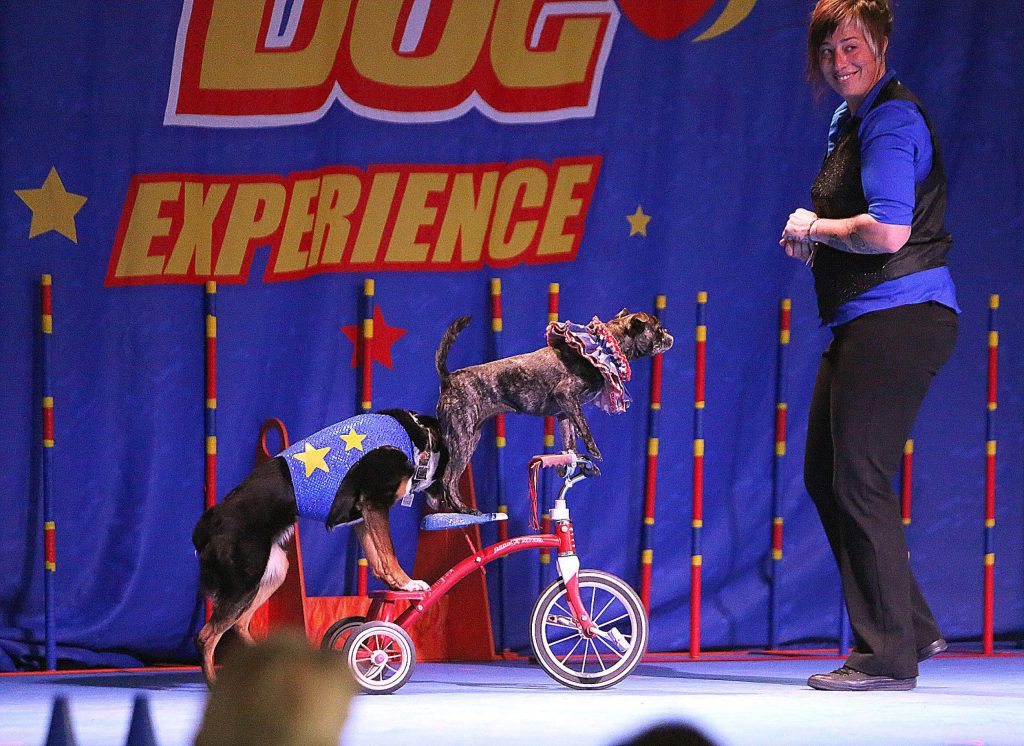 Trainer and performer Abby Cline enters the stage with her dogs pushing Cricket, Boston Terrier and pug mix, on a tricycle.
