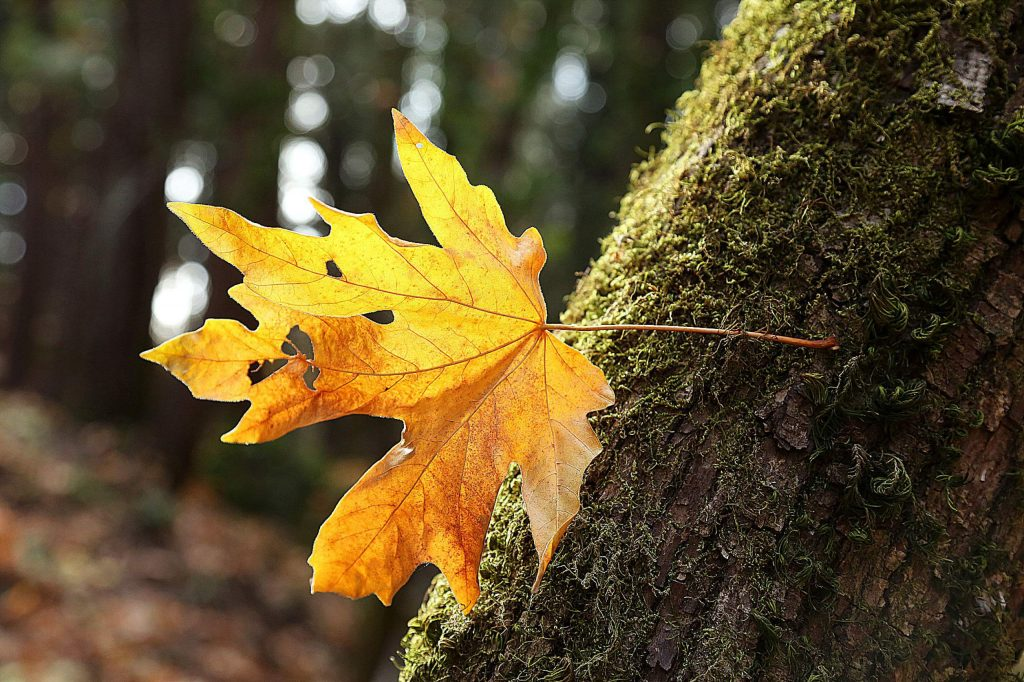 A falling leaf is caught on the moss of a tree along the Wolf Creek Trail in Grass Valley Wednesday.