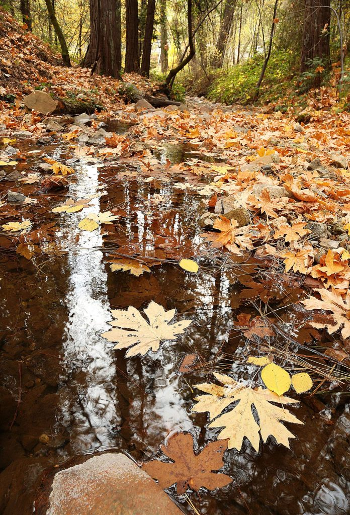 Large deciduous tree leaves collect on the waters of Little Wolf Creek Wednesday as seen from the Wolf Creek Trail.