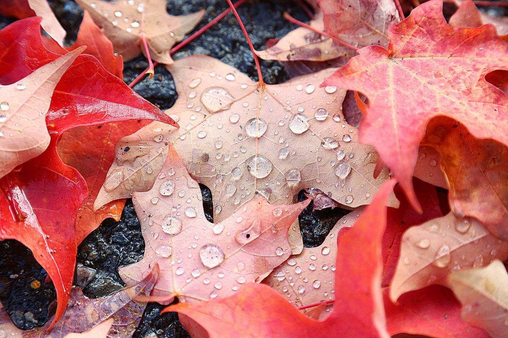 9) Drops of precipitation gather on the backs of maple tree leaves behind the historic assay office in downtown Nevada City, where 0.06 inches of rain fell on a Thursday morning in October.