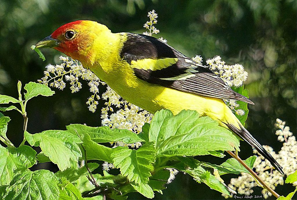 A Western Tanager male muches on a caterpillar.