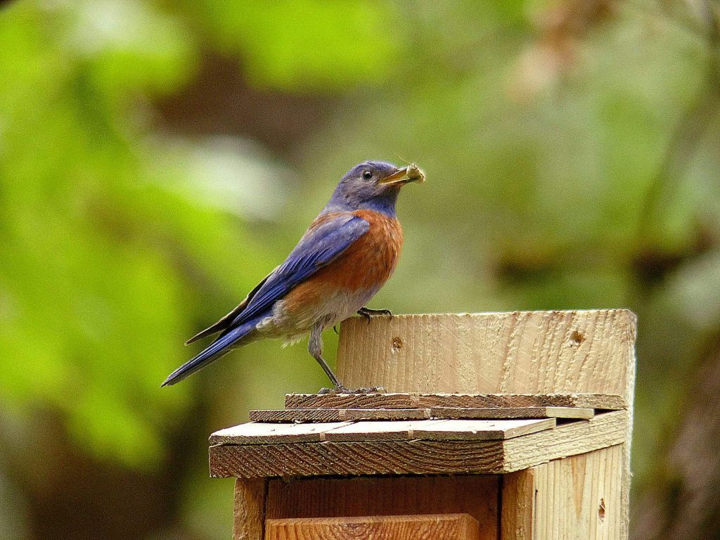 A bluebird male eats an insect.