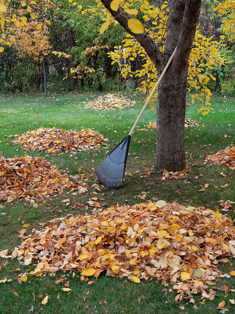 Piles of leaves from an apple tree with the rake resting against the trunk of the tree.