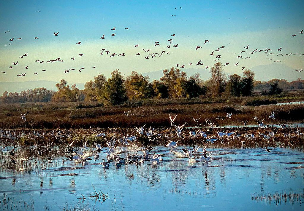 Snowgeese and other birds flying at Gray Lodge wildlife refuge on November 24.