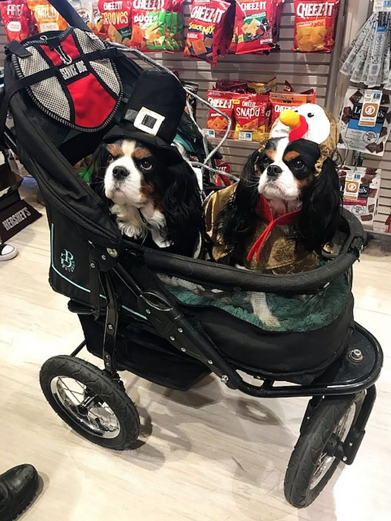 Lola and Julio wearing their Thanksgiving attire while out shopping with their owner.