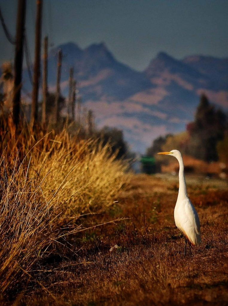 Beautiful Egret enjoying the sun just outside of Nevada County and the rice Flats of Marysville.