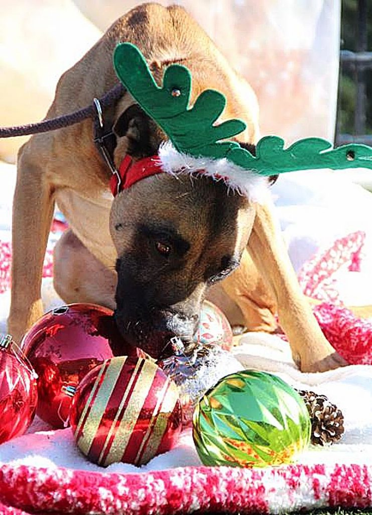 Is that a reindeer? Nope, that's Sammie's Friends pup Marky!