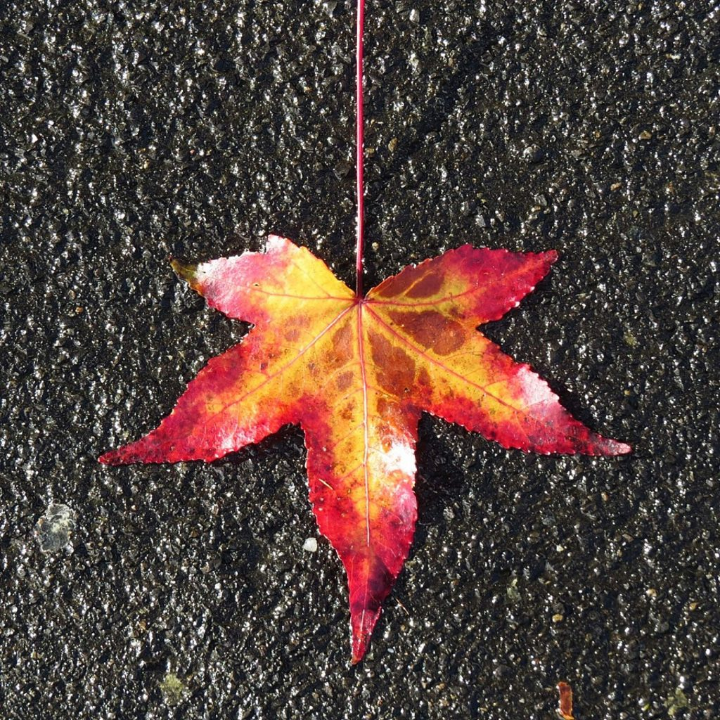 One pretty leaf on the wet ground here at Lake of the Pines.