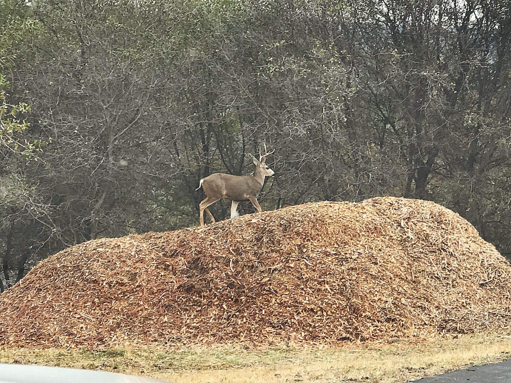 Deer playing king of hill in Penn Valley.
