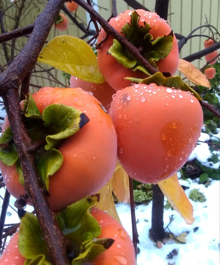 Persimmons, ready for harvest.