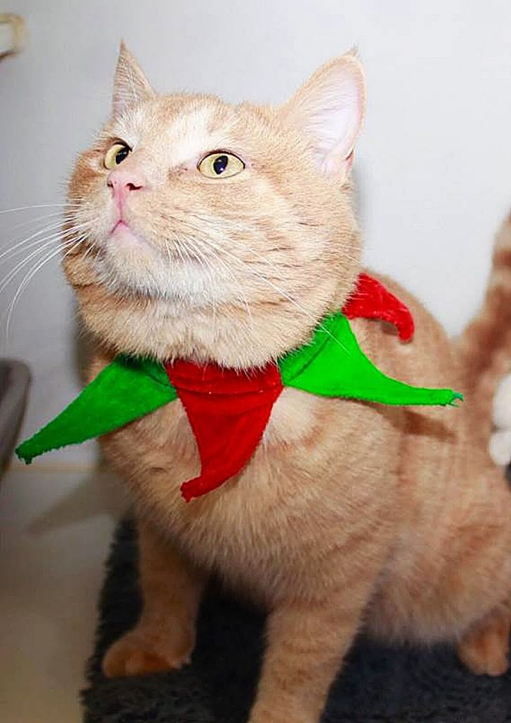 Sammie's Friends Felines, like Sherbert, deck the halls but hope for their forever home soon!