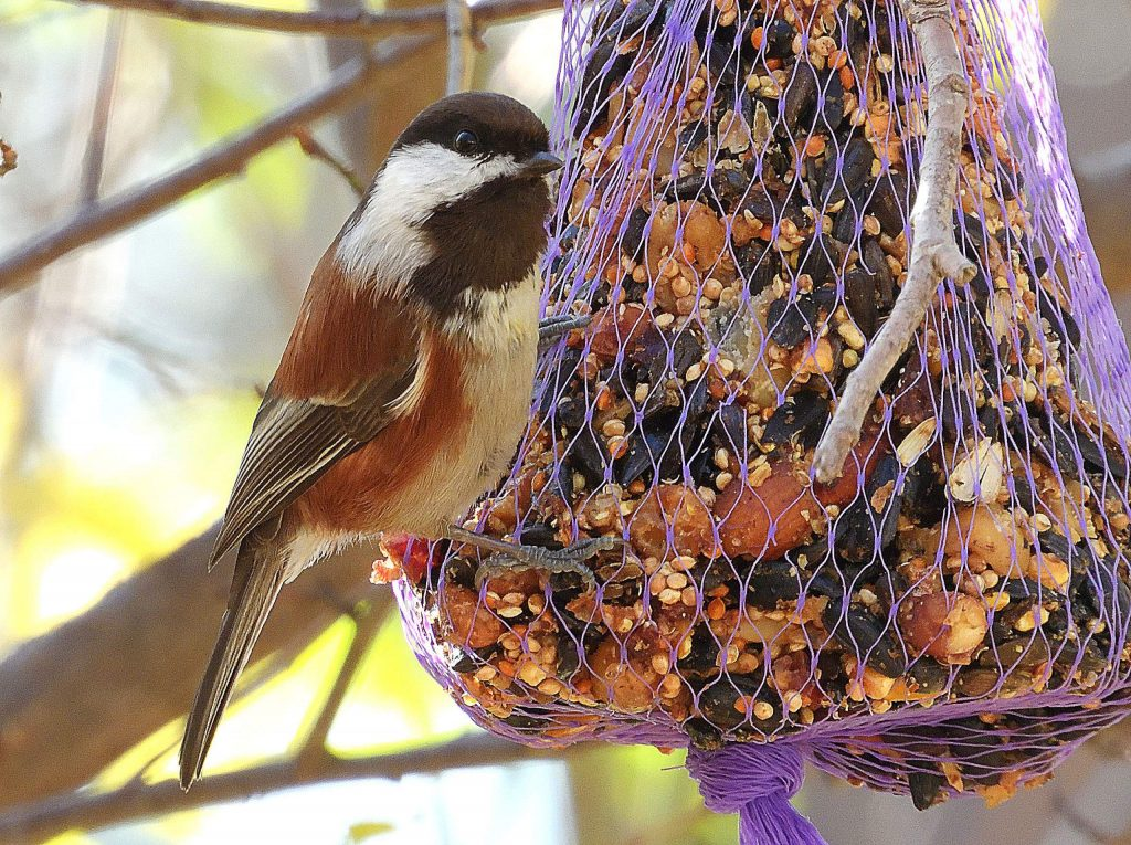 A chestnut-backed chickadee arrives to take a snack.