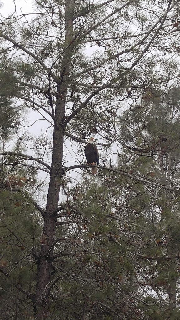Bald eagle spotted on Pleasant Valley Road, near John Born Road, Dec. 29. The eagle was eating a deer carcass.