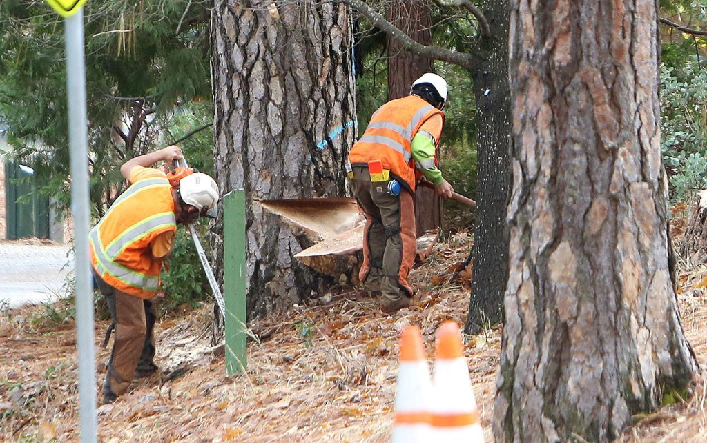 Workers from Trees Unlimited use chainsaws and axes to cut down a handful of trees killed by bark beetles at Condon Park Thursday afternoon.