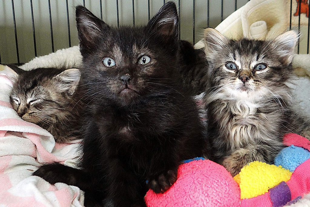 Six 6-week-old kittens from a feral litter are currently in foster care through AnimalSave because they are underweight and sickly. Local animal advocates are collaborating to promote neutering pets to prevent over-population problems.