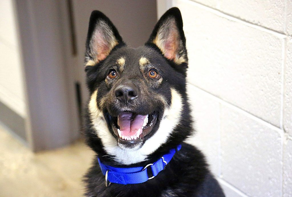 Jasper is a German Shepherd mix that has a happy-go-lucky attitude. He is available for adoption from the Grass Valley Animal Shelter off of Freeman Lane.