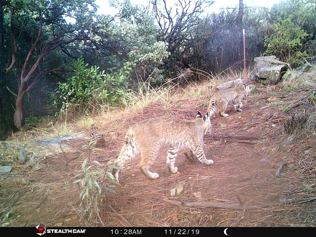 Trail camera of two Bobcats. Taken in the Deer Creek area near Slate Creek Road on Dec. 29, 2019.
