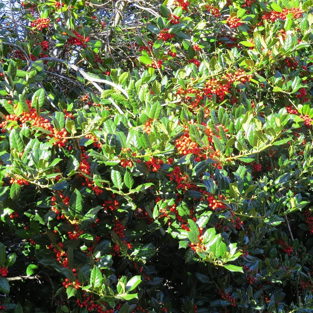 Pretty Holly bush here at Lake of the Pines.