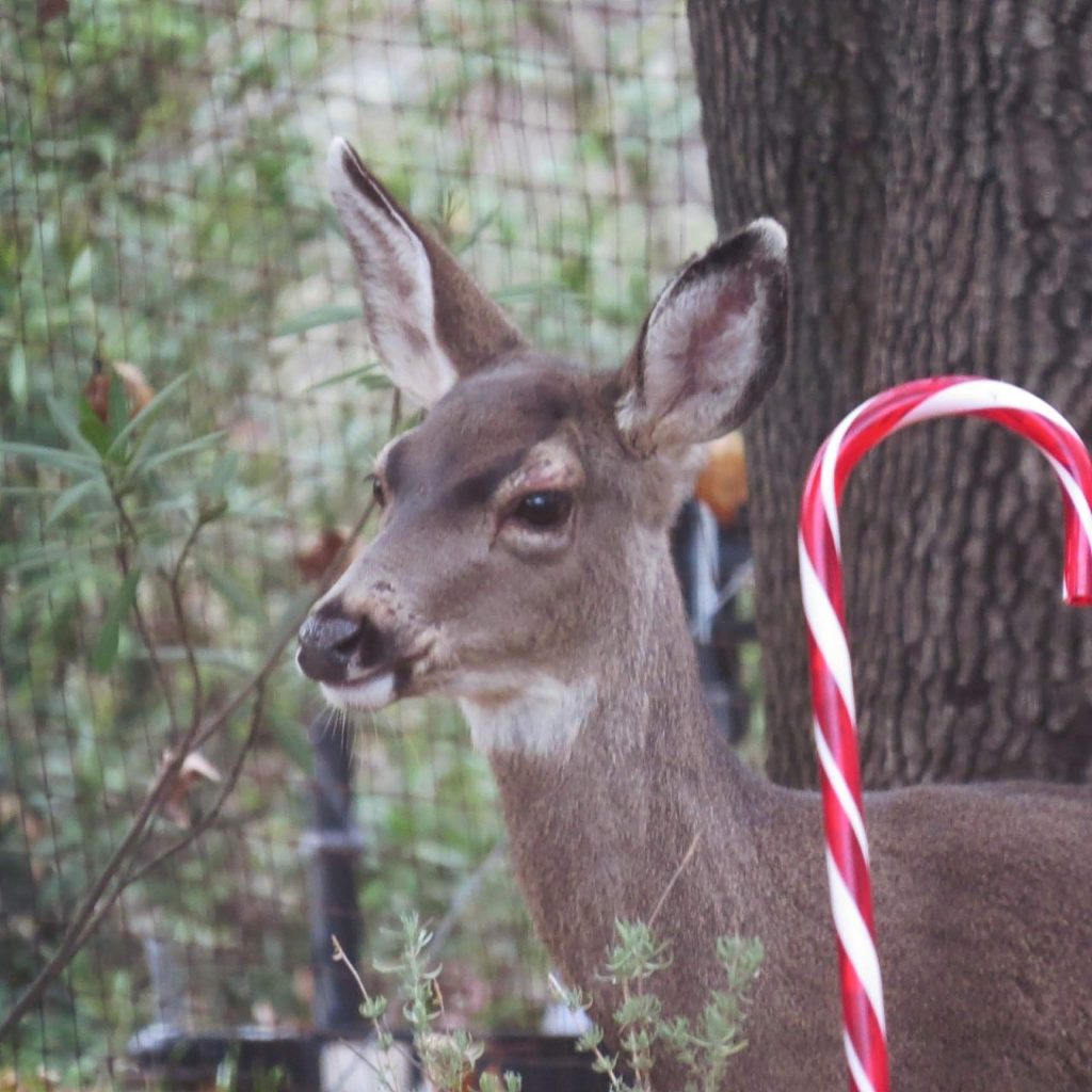 Deer next to one of our candy canes here at Lake of the Pines.