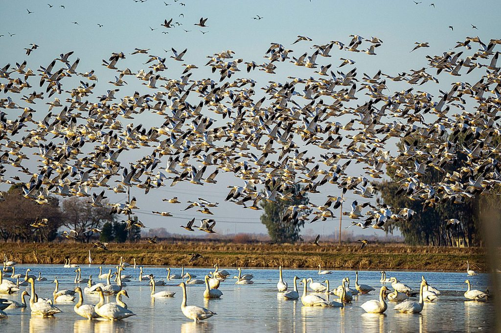 Hundreds and hundreds of tundra swans and snow geese off Woodruff Road Jan. 5.