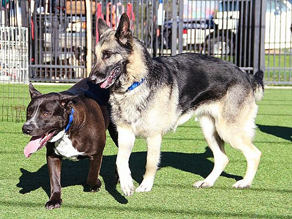 Sammie's Friends pups, Radar and Ava, pal around in the play yard. Come meet them!