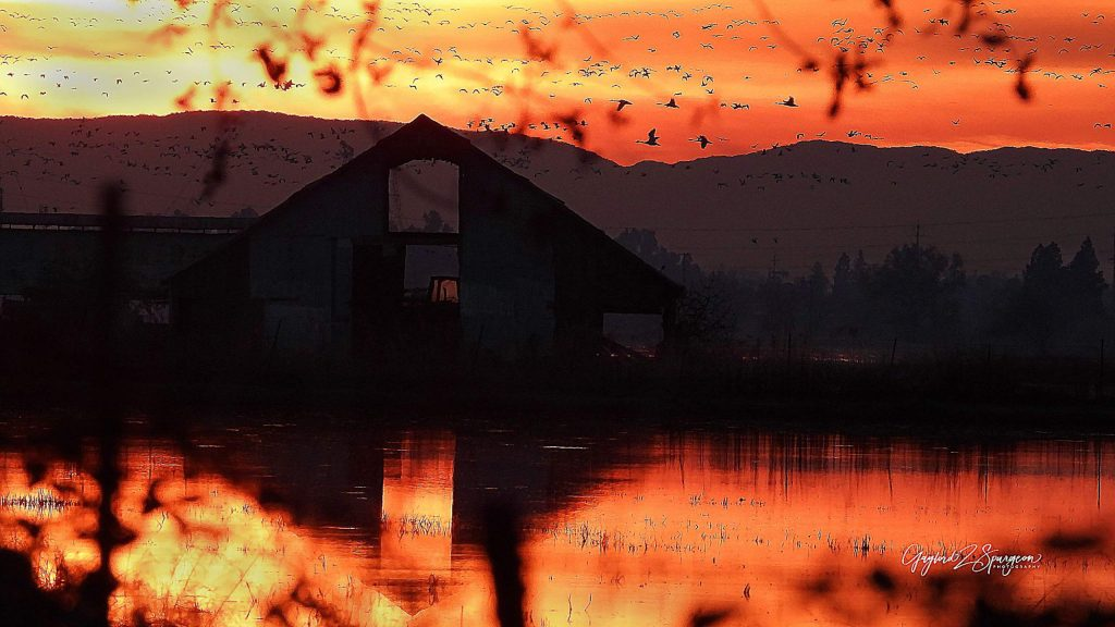 Geese and ducks take flight through the golden glow of a winter's sunset, as an old barn's reflection is seen amongst the flooded rice patties as it captures the evensong of Mother Nature.