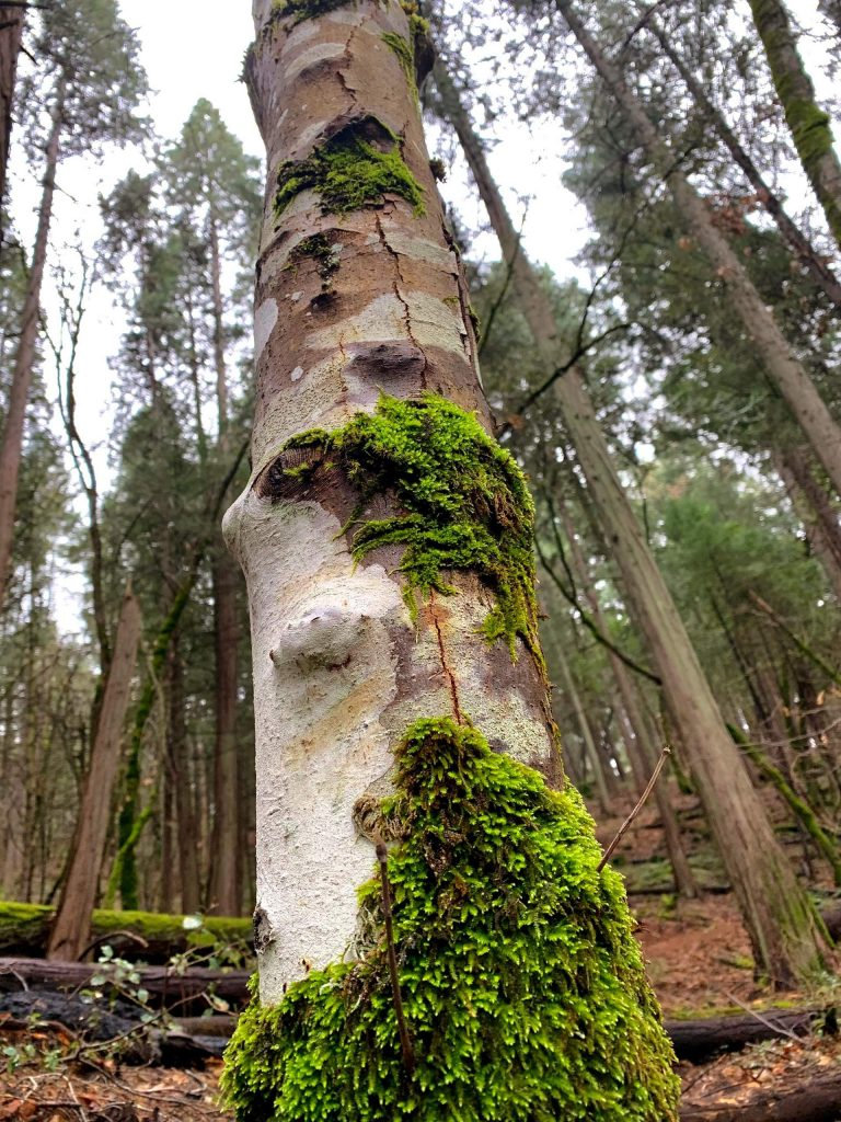 Amazing trees on the Tribute Trail in Nevada City on my morning hike Sunday, January 12.