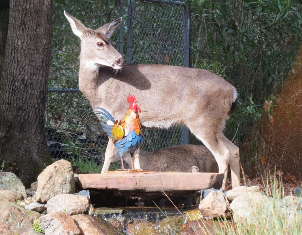This deer was at the top of our waterfall beside a rooster who is there all the time here at Lake of the Pines.