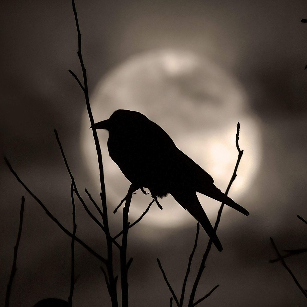 A raven perches itself in a leafless tree as the January