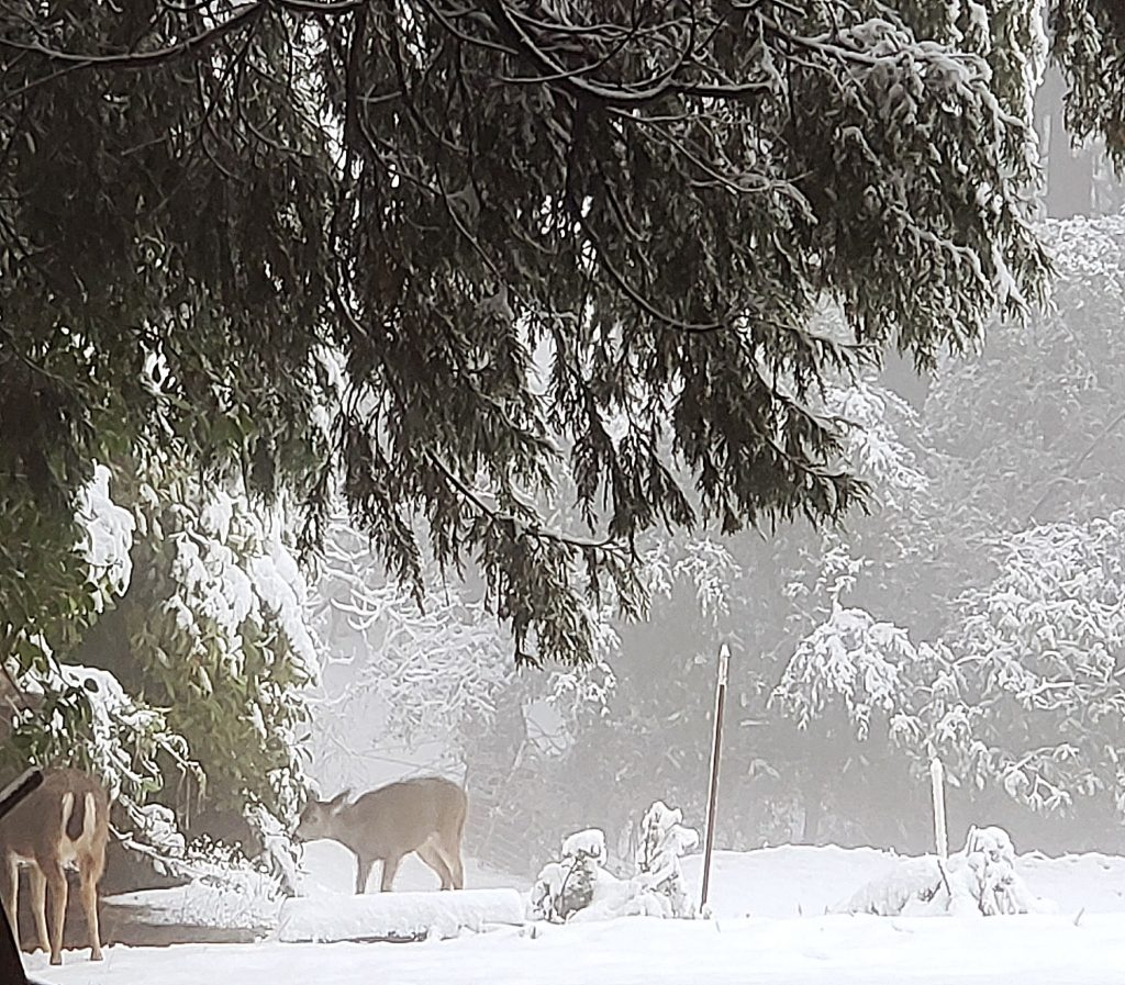 Deer in the snow captured off Lower Colfax Road.