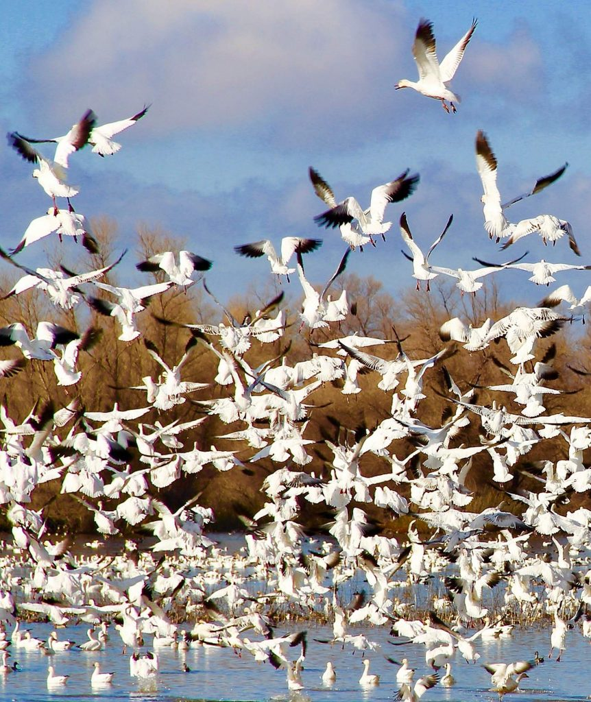 Migrating snow geese stop at Gray Lodge Wildlife Area.