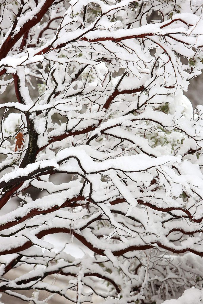 Fresh snow clings to the branches of a manzanita bush on Sugarloaf Mountain outside of Nevada City.