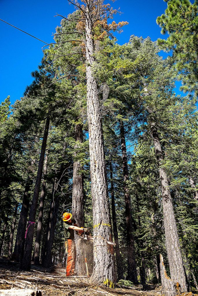 A tree is felled to be used at the Loyalton Biomass Facility to create electricity. Some locals and the Sierra Business Council are urging for the creation of biomass energy facilities in Nevada County. Their argument is guided in part by the understanding that the energy system is clean and will help the area better manage its forests.