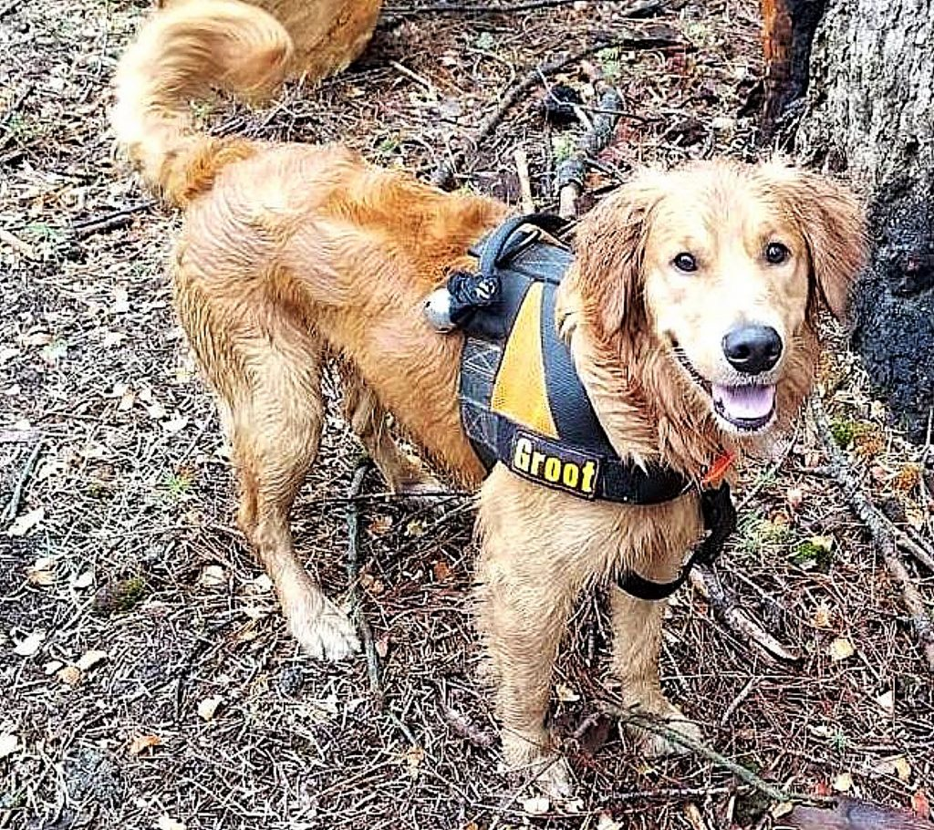 Groot, a 3-year-old Golden Retriever, doesn't mind getting wet during search and rescue training.