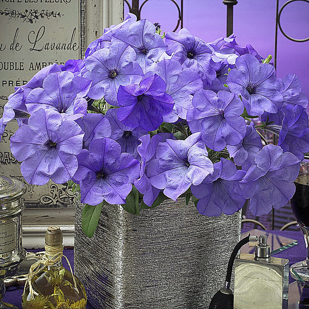 As its name implies, Evening Scentsation petunia fills gardens and relaxation areas with its aroma especially in the evening hours.