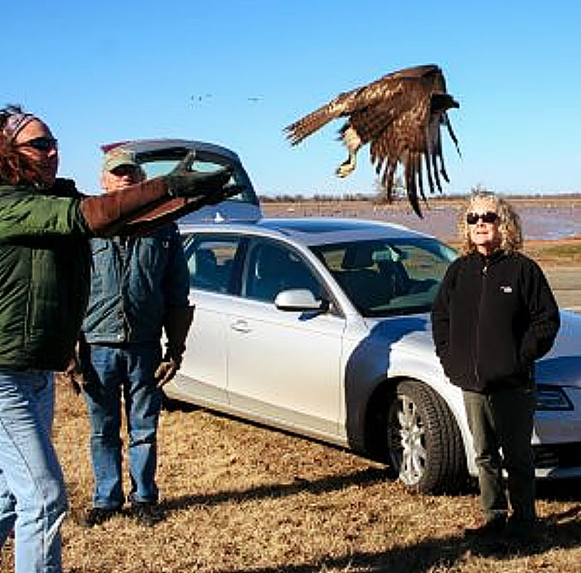 Wildlife Rehabilitation and Release volunteers release a fully rehabilitated hawk back into the wild.