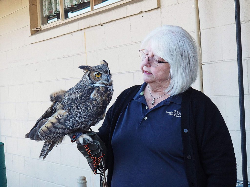 Bev Myers, president of Wildlife Rehabilitation and Release, holds Chester, a great horned owl that was rescued after being caught in barbed wire. Owls like Chester can live up to 40 years in captivity.