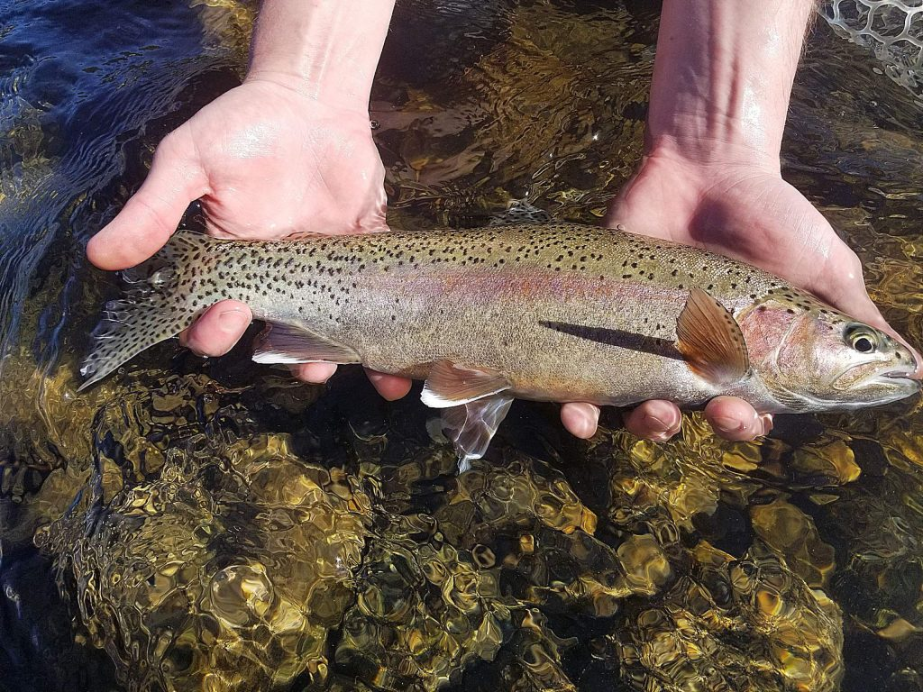 A typical Lower Yuba rainbow trout.