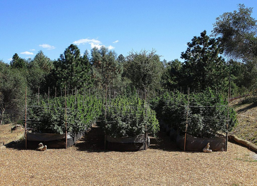 A legally permitted cannabis grow at Green Gift Gardens. According to the Nevada County Cannabis Alliance, allowing license types beyond just cultivation would help growers streamline their costs.