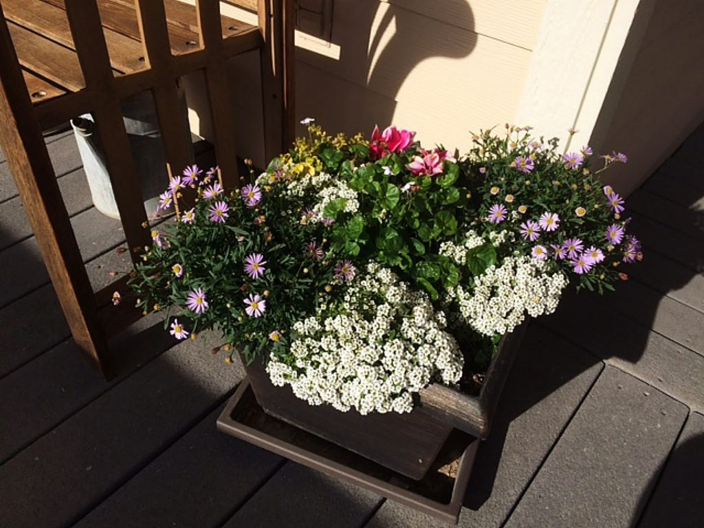 Flowers thriving on our Grass Valley porch in January!