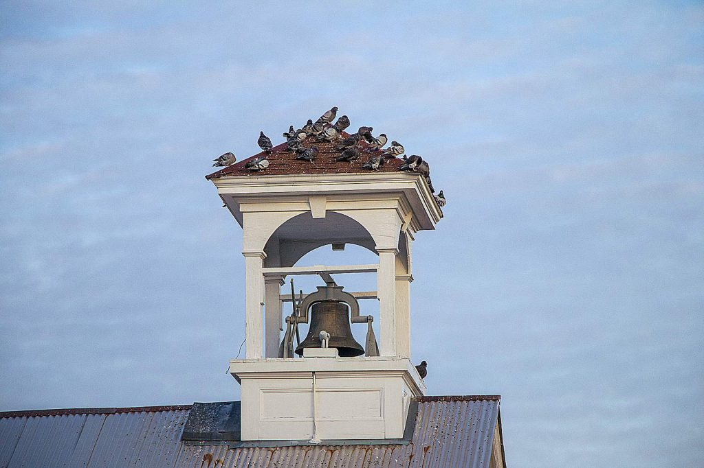 Fun photo subject - Nevada City pigeons at their new resting spot - bell tower top of Historic Fire Station #2!