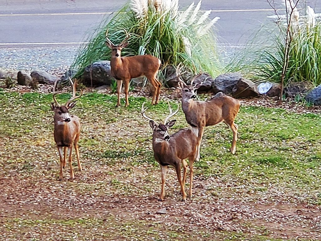 Boy's Club meeting in our yard Monday afternoon. Four alert bucks!