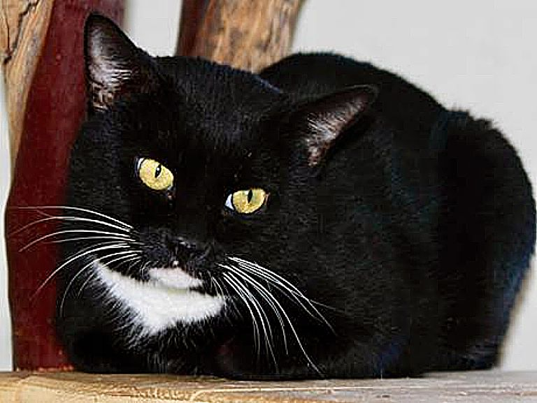 Gravy Belly, beautifully tuxedoed Sammie's Friends cat, is looking for a new home…and a new name.