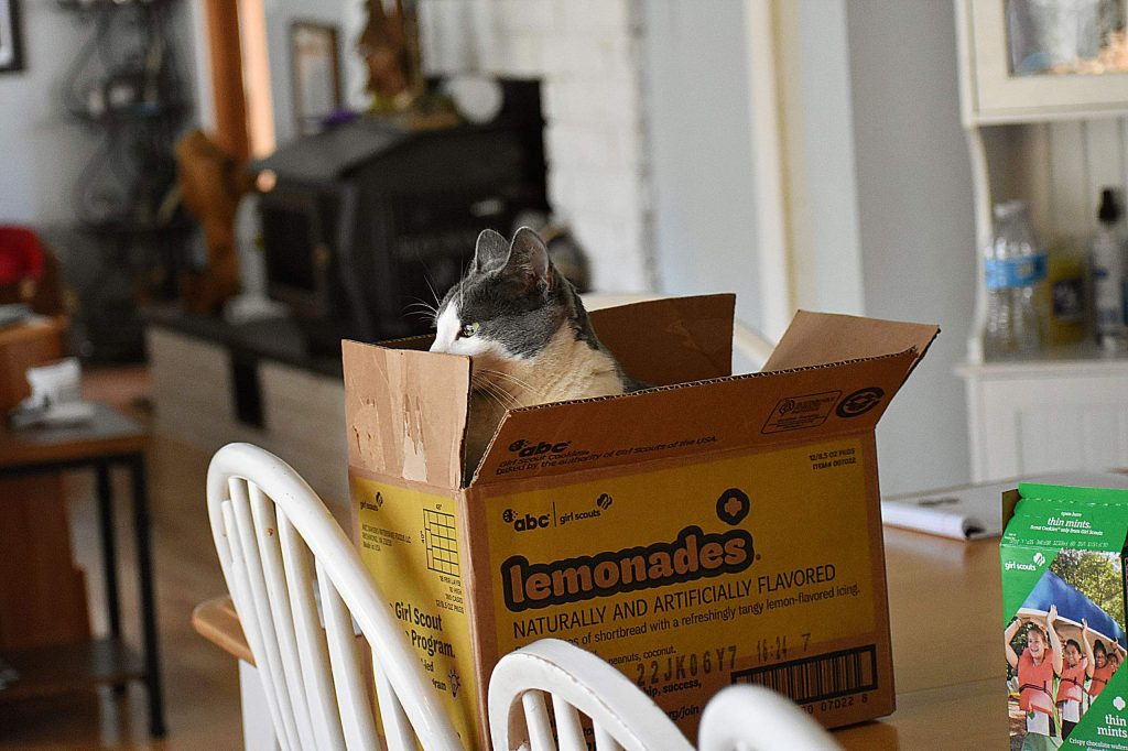 Robles the cat enjoying his lemon girl scout cookies.