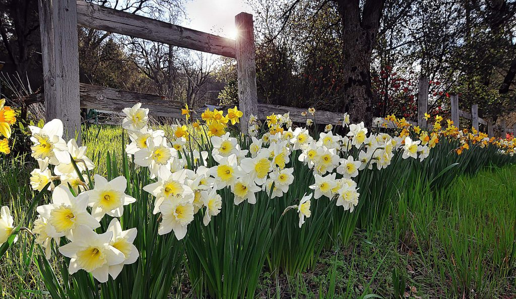 Beautiful blooming daffodils along Penn Valley Drive add their glorious color to a roadside landscape.